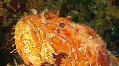 Underwater footage chapon fish corsica corse mediterranean Stock Footage