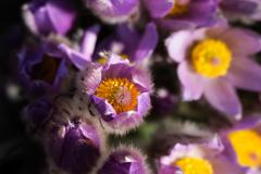 pasqueflower - early spring violet flower on a meadow with grass - stock photo