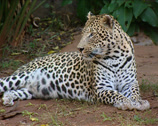 Stock Video Footage of Leopard lying down in its enclosure at the Pretoria Zoo