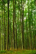 tall dense forest - stock photo