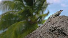 Iguana on straw roof Stock Footage