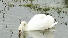 Mute swan in natural habitat Stock Footage