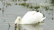 Stock Video Footage of mute swan in natural habitat