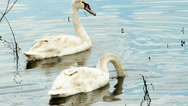 Stock Video Footage of an immatur of mute swans looking for food in swamp