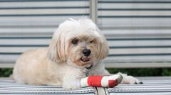 shih tzu wrapped by red bandage - stock photo