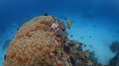 Swim over coral bommie with colourful fish Stock Footage