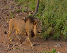 A male lion walking up a hill frame left to frame right at Mabalingwe Stock Footage