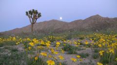 Full Moon Rising over Desert Flower Carpet Time Lapse Stock Footage
