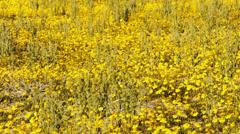 Desert Golden Flower Carpet Stock Footage