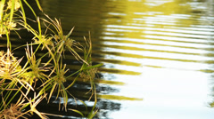 Papyrus Pond Ripple Reflection - stock footage