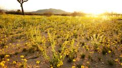 4K Desert Golden Flower Carpet Time Lapse -Tilt Up- Stock Footage