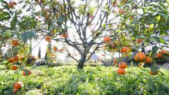 Orange tree in garden plant (pan handheld shot) Stock Footage