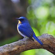 male hill blue flycatcher - stock photo
