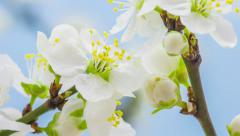 Wild plum tree flower growing timelapse Stock Footage