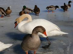 GREATER WHITE FRONTED GOOSE AND SWAN AT POND IN WINTER - stock photo