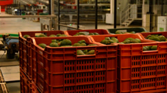 Boxes avocados hass industry fruit Stock Footage