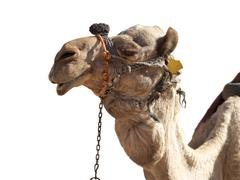 a happy, grinning camel isolated in profile - stock photo