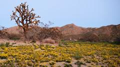 Full Moon Rising over Desert Flower Carpet Time Lapse -Pan Left- Stock Footage