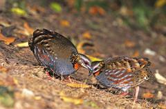 Rufous-throated partridge Stock Photos