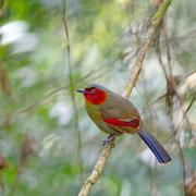 Stock Photo of scarlet-faced liocichla