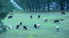 Herd of goads put out to pasture in the dawn Stock Footage