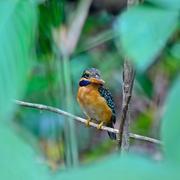 Rufous-collared kingfisher Stock Photos