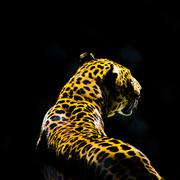 Leopard from the dark Stock Photos