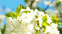 Apricot flowers blooming in spring. 4K. FULL HD, 4096x2304. Stock Footage