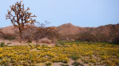 4K Full Moon Rising over Desert Flower Carpet Time Lapse -Pan- Stock Footage