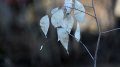 a lunaria annua annual honesty plant with withered leaves on it - stock footage
