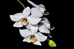 phalaenopsis amabilis - stock photo