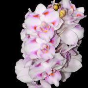 phalaenopsis hybrid - stock photo