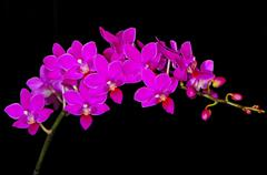phalaenopsis hybrid - stock photo