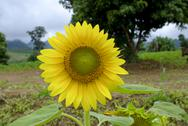Stock Photo of alone sunflower field