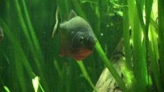 A Piranha among the algae Stock Footage