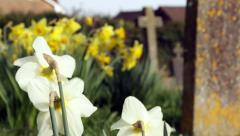 Daffodils and grave stones Stock Footage