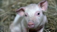 Staring piggy - stock footage