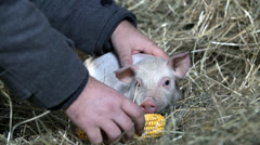 Men gives a corn cob in front of little piggy Stock Footage