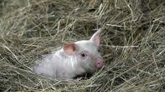 Little pig is laying in pile of hay wondering what is happening  - stock footage