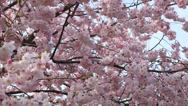 Stock Video Footage of spring background with pink blossom on blue sky, pan