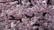 Stock Video Footage of spring flower with pink blossom
