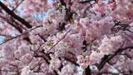 Stock Video Footage of spring flowers with pink blossom on blue sky
