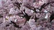 Stock Video Footage of spring background with pink blossom on blue sky, tilt