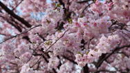 Stock Video Footage of spring background with pink flowers, focus changing