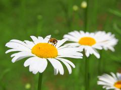 beautiful  daisy and bee field in spring time - stock photo