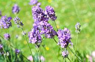 Stock Photo of summer lavender meadow