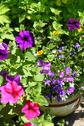 Stock Photo of beautiful petunia and lobelia