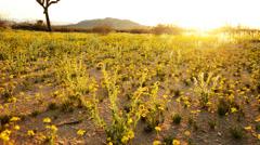Desert Golden Flower Carpet Time Lapse -Tilt Up- Stock Footage
