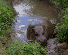 A hippo lying in a small water hole, coming out the water Stock Footage