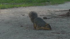 Gray Squirrel Foraging For Food Stock Footage
